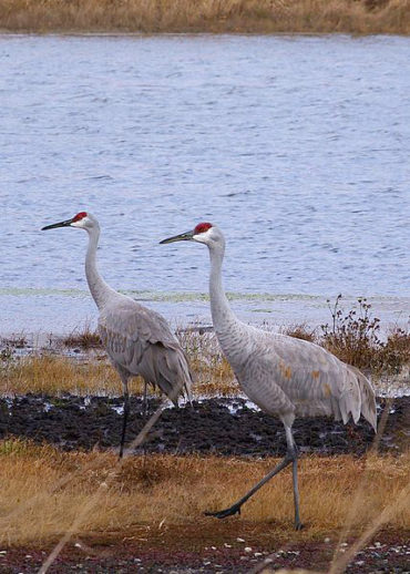 Sandhill Cranes by Diane Constable from Gregory, MI USA