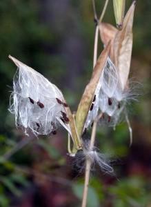 Milkweed pod and seeds