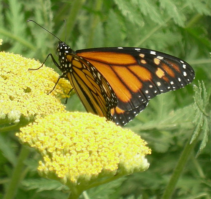 Monarch - Photo by Joe Mabel