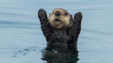 Otters on Big Blue Live