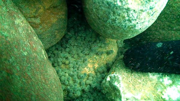 Sturgeon eggs at MC reef-M