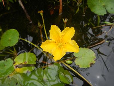 A Yellow, Broken Heart: New Aquatic Invasive Threatens West Michigan