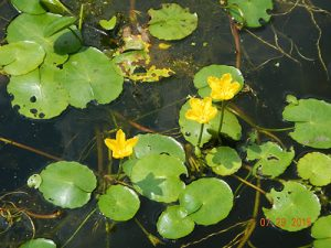 yellowfloatingheartleavesflowers_502769_7