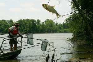 At Big Muddy National Fish & Wildlife Refuge in Missouri, an invasive Asian carp leaps high out of the water to escape biologists' nets.