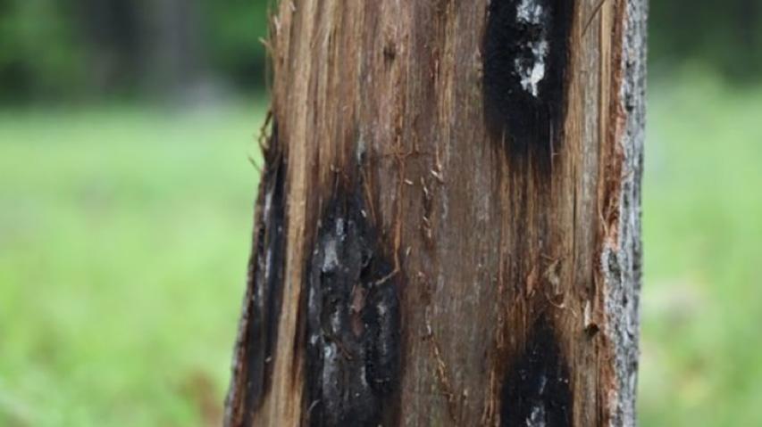 Oak tree effected by Oak wilt.