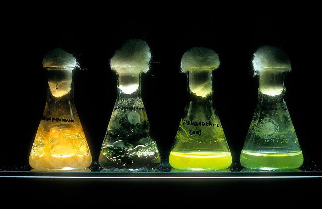 Varieties of blue-green algae (or cyanobacteria) in flasks, courtesy of CSIRO